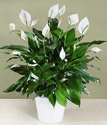 peace lily houseplant for your home to purify air