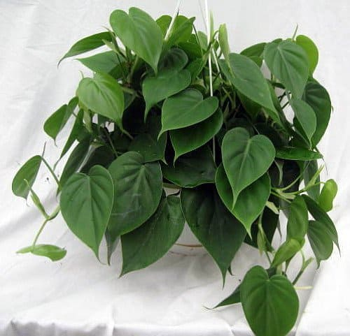 Heart Leaf Philodendron for home