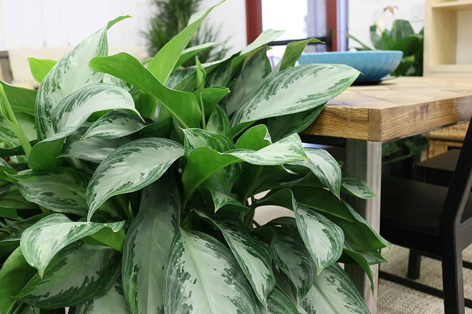 Aglaonema houseplant