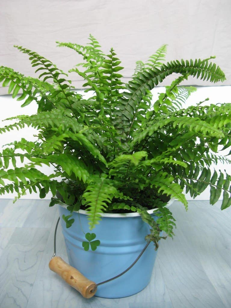 Boston fern air purification