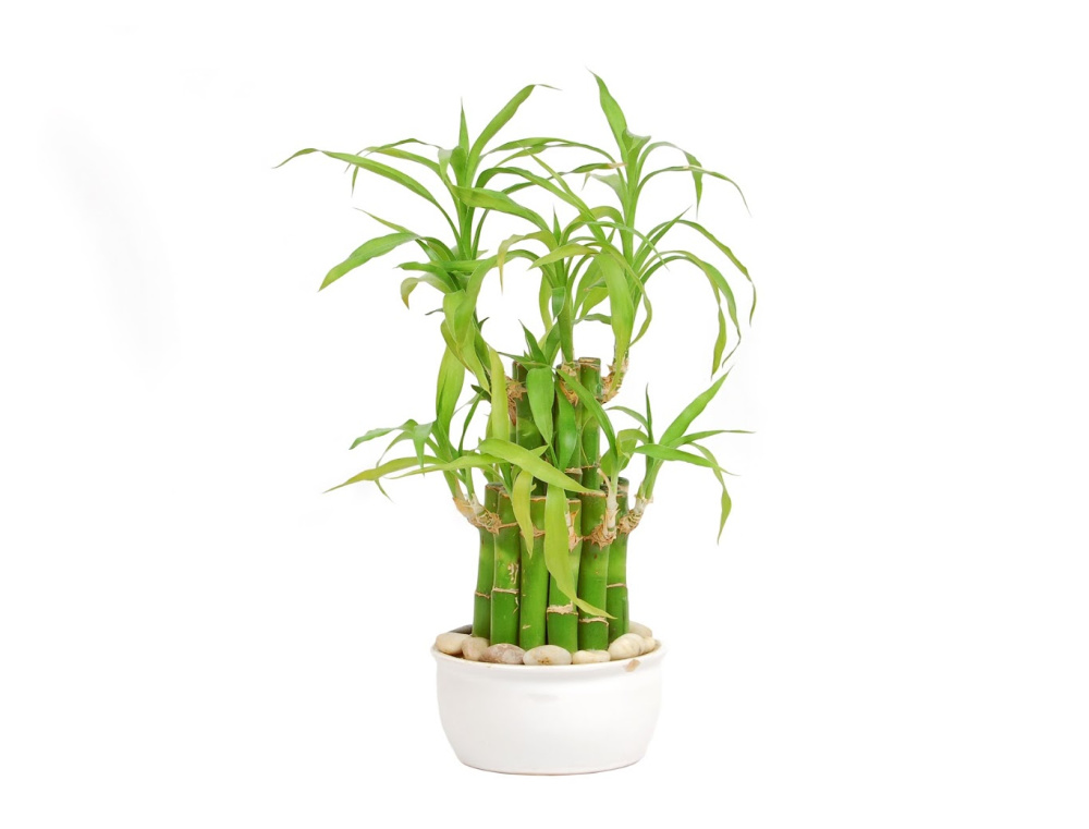 Lucky Bamboo - Indoor Low Light Plant