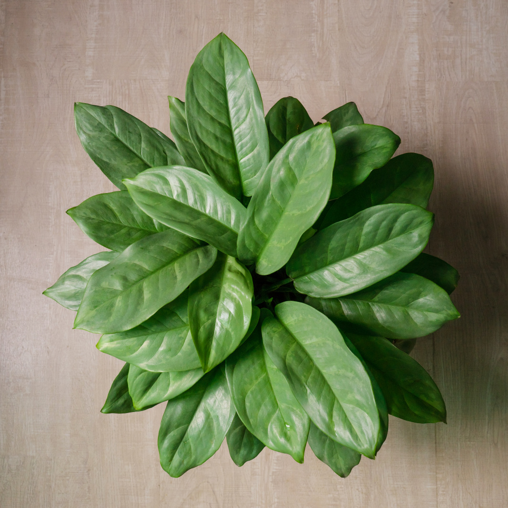 Chinese Evergreen - Indoor Low Light Plant